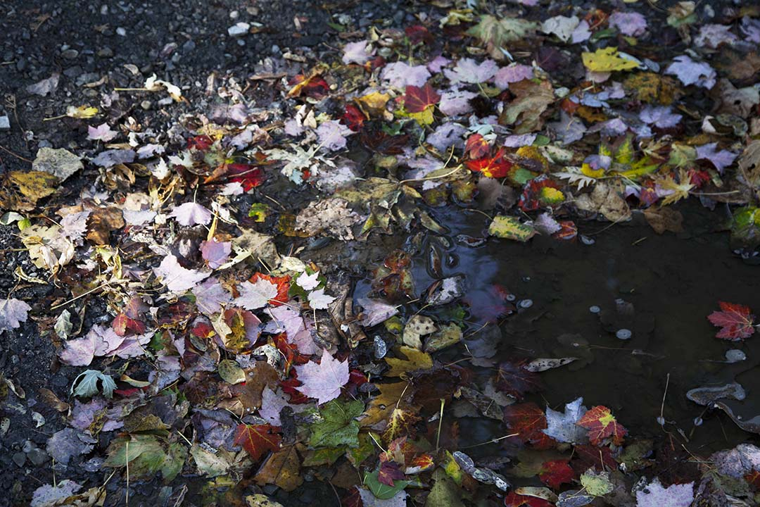 FALL LEAVES IN PUDDLE, COLD SPRING, NY